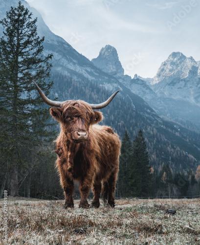 Fotografia Single Bautiful Highland Cattle standing alone on a frozen Meadow in front of Hu