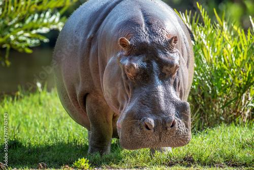 Stampa su Tela Hippo (Hippopotamus amphibius)