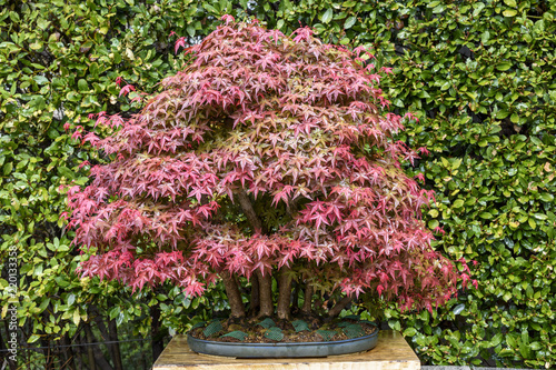 bonsai Acer palmatun