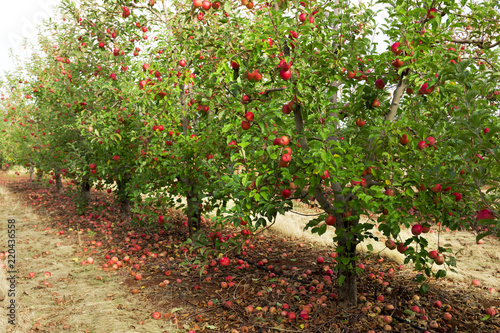 Trees with red apples ready to picked in orchard