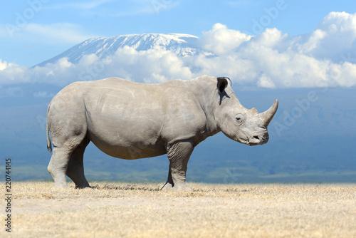 Fototapeta premium Afrykański nosorożec biały