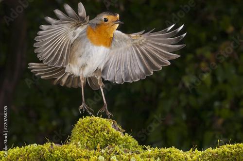 Wallpaper Mural robin (erithacus rubecula), landing, flight