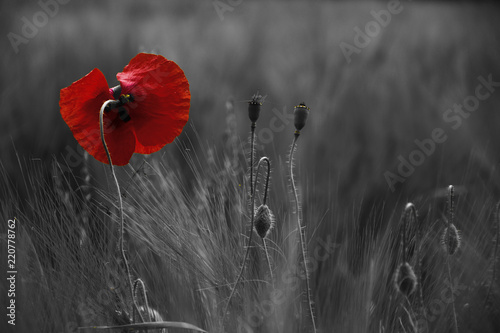 Canvas-taulu Poppy flower or papaver rhoeas poppy with the light behind in Italy remembering