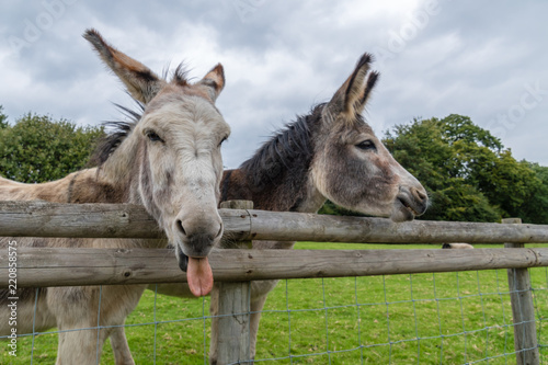 Fotografie, Obraz Donkey's Pulling Funny Faces
