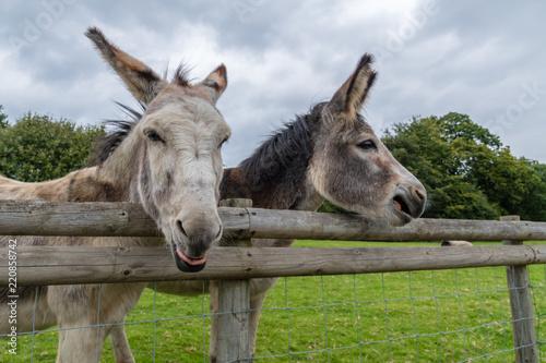 Fototapeta Donkey's Pulling Funny Faces