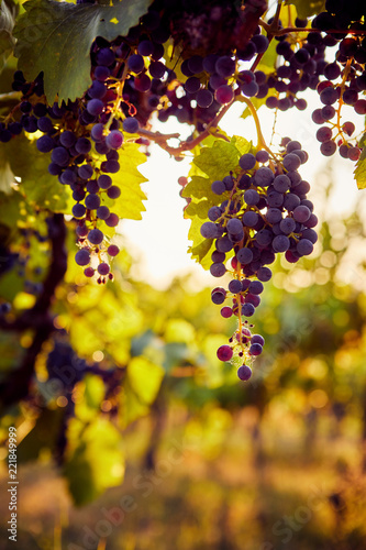 The sun shines through a grapevine with blue grapes