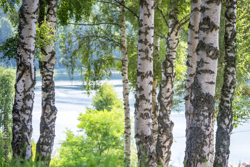 Fototapeta premium Brzozy nad jeziorem