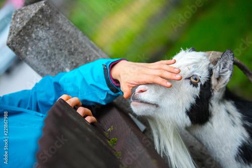 Ziege wird gestreichelt, Streichelzoo