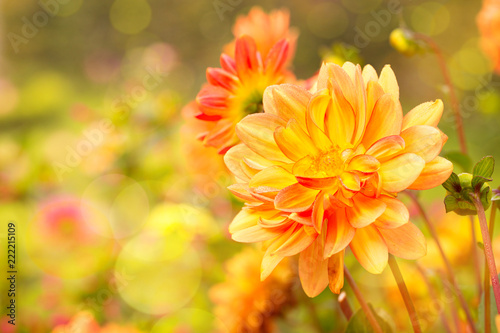 Dahlien im Garten  - Herbst
