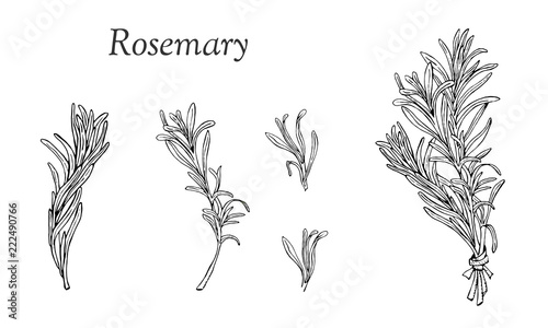Obraz na plátně Set with rosemary hand drawn outline elements