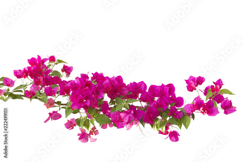Fotomural bougainvilleas isolated on white background.