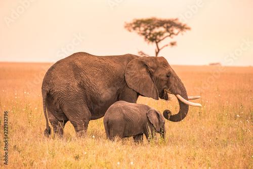 Fototapeta premium Rodzic słoń afrykański ze swoim małym dzieckiem Elephant na sawannie Serengeti o zachodzie słońca. Drzewa akacji na równinach w Parku Narodowym Serengeti w Tanzanii. Wycieczka Wildlife Safari w Afryce.