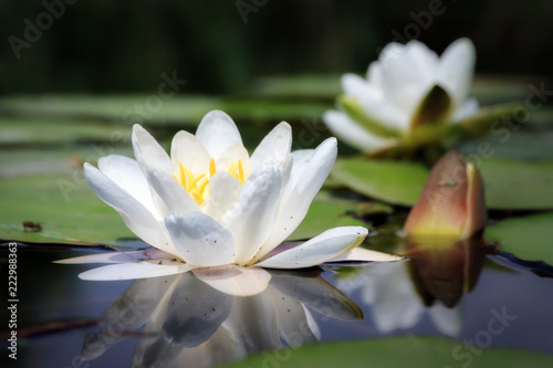 Stampa su Tela Beautiful close up macro of the white water lily (Nymphaea alba, Nymphaeaceae) a