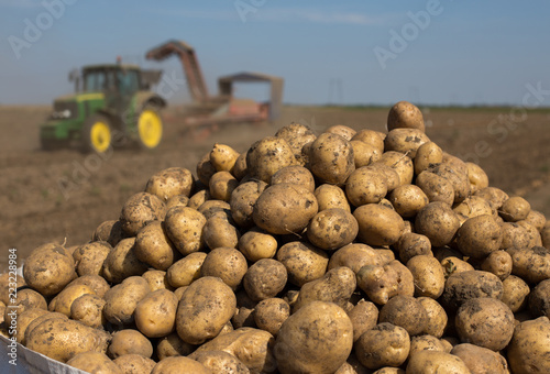 Potato harvest in field