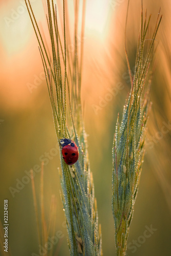 Beautiful close up macro shot with a red ladybug on a wheat spice covered in dew drops
