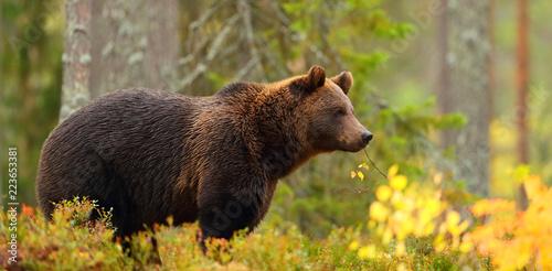 Fototapeta premium Widok z boku na niedźwiedzia brunatnego w lesie