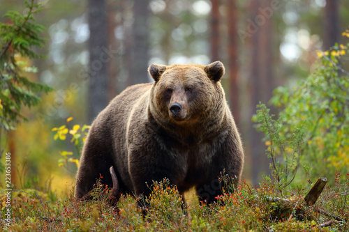 Canvas Print Big brown bear in a forest