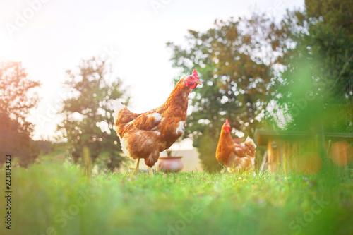 hen chicken grass