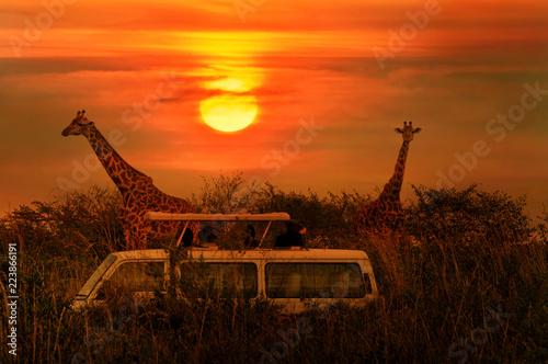 Fototapeta premium Dzikie żyrafy na sawannie