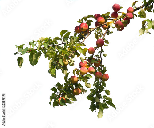 Wild red apples on a branch