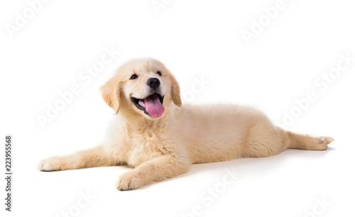 Stampa su Tela Cute Golden Retriever Puppy isolate on white background.