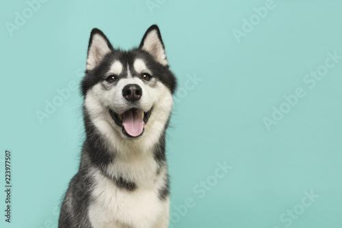 Fototapeta premium Portret psa Husky patrząc w kamerę z otwartymi ustami na turkusowo-niebieskim tle