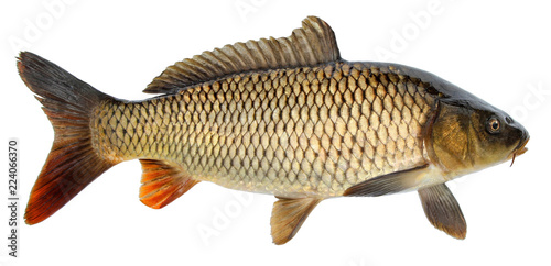 Crucian carp fish isolated. Side view, raised fins. Isolated