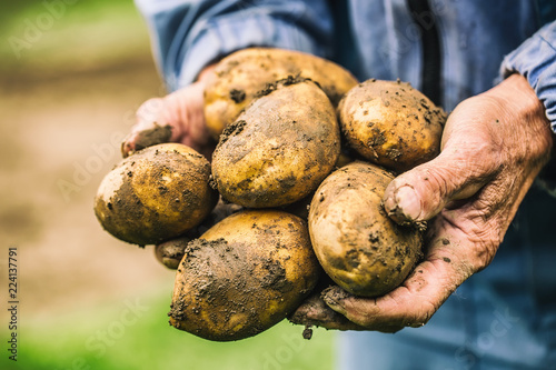 Old hand of farmer holding fresh organic potatoes