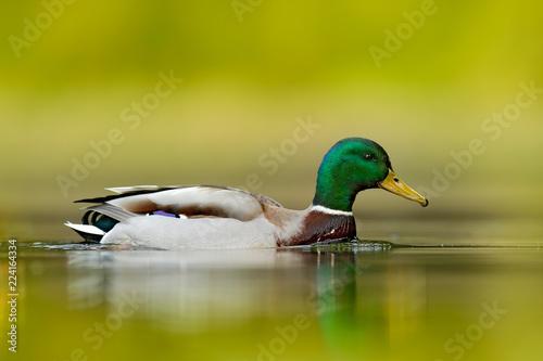 Fotografia Water bird Mallard, Anas platyrhynchos, with reflection in the water