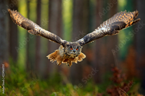 Fototapeta premium Latająca eurazjatycka sowa z otwartymi skrzydłami, akcja przyrody scena od natury, Niemcy. Ciemny las z ptakiem. Sowa w siedlisku lasu, pień drzewa. Ptak w siedlisku lasu.
