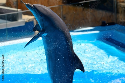 Fotografiet Close up of a dolphin performing in a dolphin show