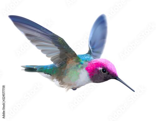 Obraz na płótnie Hummingbird - Calypte  anna