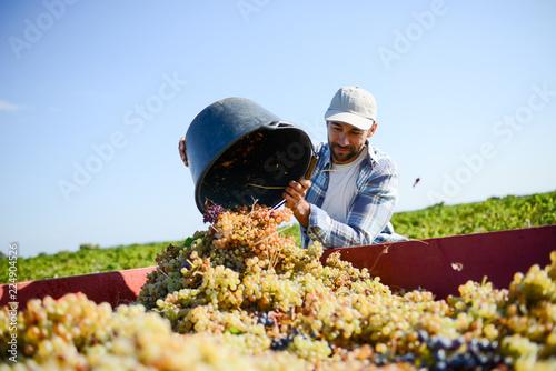 Carta da parati handsome man farmer in the vine, harvesting grapes during wine harvest season in