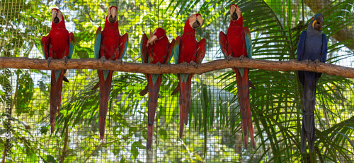 Foto Colorful macaw parrots in the aviary