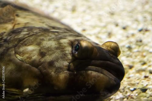 Head of an atlantic halibut Fototapeta
