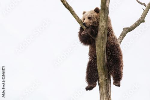 Fototapeta premium Młody niedźwiedź brunatny na drzewie