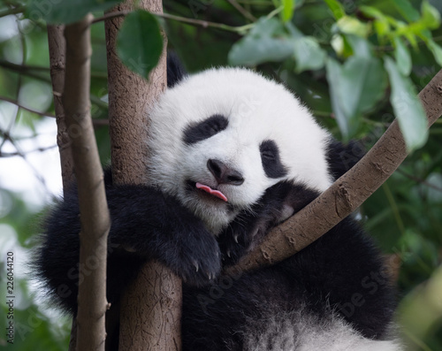 Happy Panda baby putting his tongue out