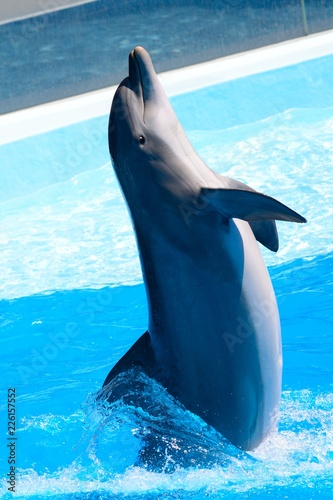 Close up of a dolphin performing in a dolphin show Fototapet