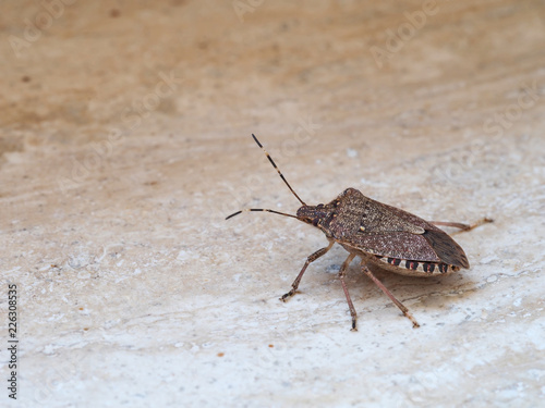 Brown marmorated stink bug Halyomorpha halys, an invasive species from Asia. On plain background with copyspace.