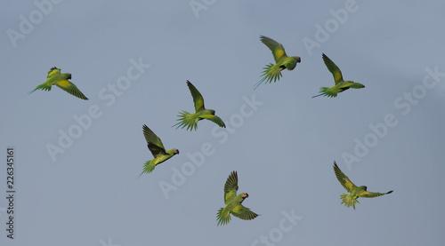 Fotografia Red-breasted parakeet flying on blue sky