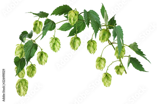 Fotografia Branch of hop with leaves isolated on white background.