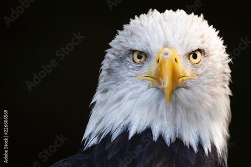 Close up portrait of a surprised bald eagle (Haliaeetus leucocephalus)