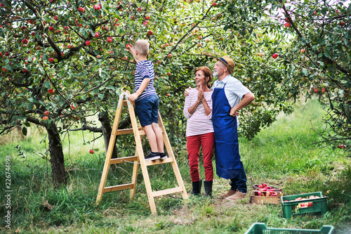 A small boy with his gradparents picking apples in orchard. Fototapeta