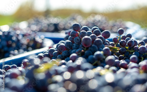 Blue vine grapes. Grapes for making wine. Detailed view of Cabernet Franc blue grape vines in the hungarian vineyard in autumn.