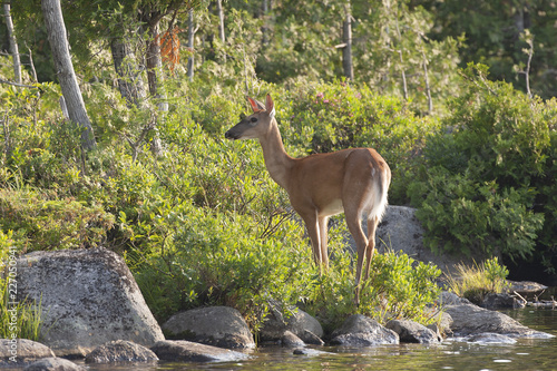 White-tailed Deer in Baxter State Park, Maine USA Fototapeta