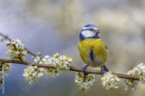 Fotografie, Obraz Blue tit in blossom
