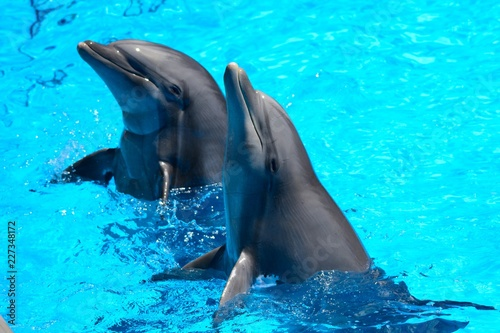 Two dolphins performing in a dolphin show Fototapet