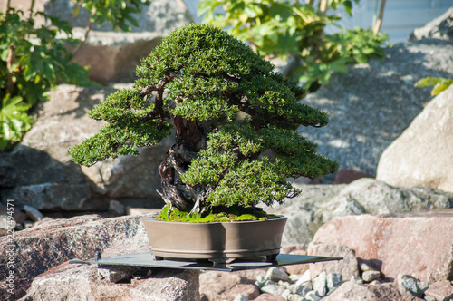 closeup of yew bonsai in a japanese garden