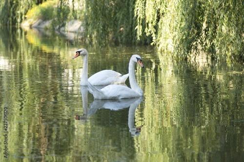 Obraz na plátně swan on the lake