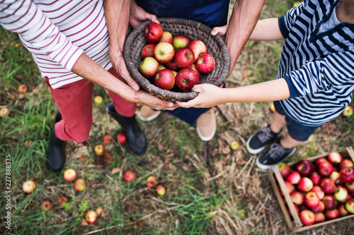 Unrecognizable grandparents with grandson holding a basket full of apples in orchard.